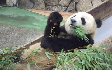 Panda_fight1