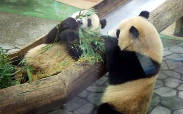 Panda_fight2
