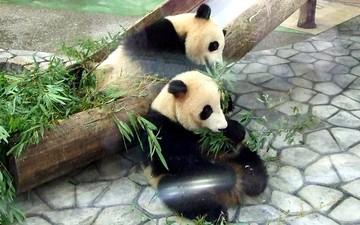 Panda_fight3