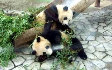Panda_fight4