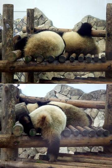 Panda_kedama