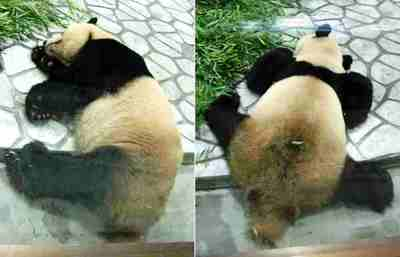 Panda_pata_3