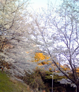 若狭の桜(4月10日(金)に撮影)