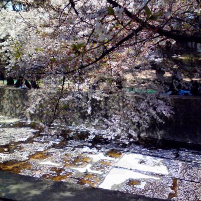 夙川の花筏(4月11日に撮影)